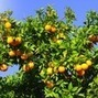 L.A.'s First Public Fruit Park is Set to Open | Annie Haven | Haven Brand | Scoop.it