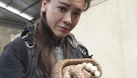 Hong Kong celebrity Sharon Kwok's tragic pangolin encounter | Endangered Species News | Scoop.it