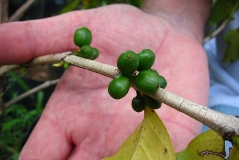 Plant biotechnology: Make it a decaf | Agricultural Biodiversity | Scoop.it