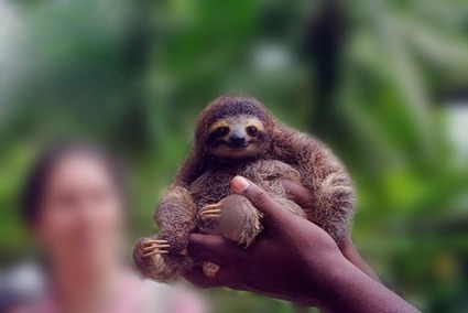 Nearly-extinct pygmy sloths sets off international incident in Panama ... | Wildlife conservation | Scoop.it