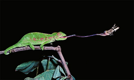 "A Robotic ""Hand"" Based on the Chameleon's Tongue 