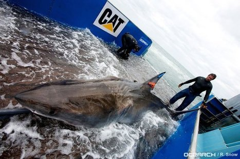 How one shark's epic journey is making history - National ... | Shark conservation | Scoop.it