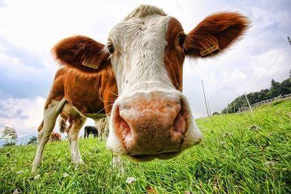 Tuberculose bovine : un nouveau scandale alimentaire au Royaume-Uni ? | Abdellatif | Scoop.it