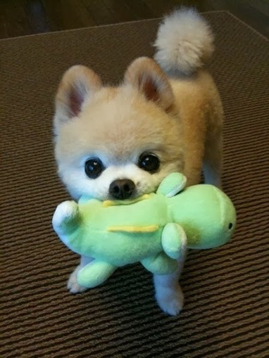Daily Funny Dog Pictures: Boo Playing With Teddy Turtle | Funny Animal Pictures | Scoop.it