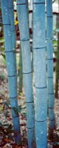 Ornamental Bamboo - bamboo inspiration on these unique plants for your garden or home | Gardening is more than Digging the Dirt | Scoop.it