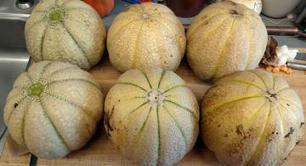University of New Hampshire melon research produces higher yields - agprofessional.com | Research Capacity-Building in Africa | Scoop.it