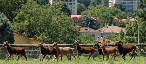 La mairie de Grenoble réintroduit les moutons en ville pour tondre les pelouses - RTL.fr | agriculture urbaine | Scoop.it