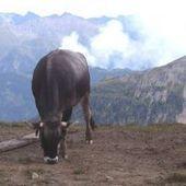RTBF.be⎥Les pets des vaches mesurés par des chercheurs de Gembloux | L'actualité de l'Université de Liège (ULg) | Scoop.it