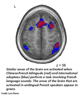 First language wires brain for later language-learning | Channels - McGill University | Computers for Education | Scoop.it