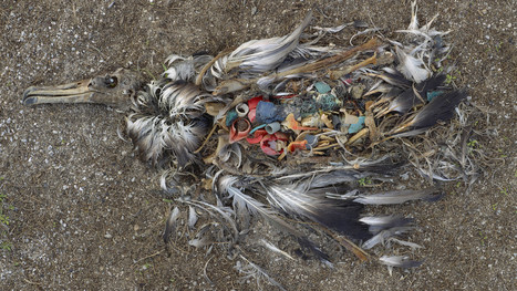 Non-biodegradable Plastics End Up In Seabirds' Bellies | Aquascaping and Nature | Scoop.it