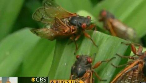 BILLIONS Of Cicadas To Swarm The East Coast | Troy West's Radio Show Prep | Scoop.it