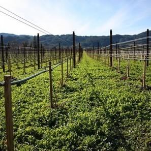 Water use in Aussie vineyards up 18% | Grande Passione | Scoop.it
