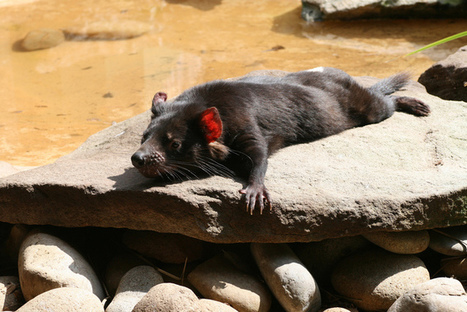 Should we move Tasmanian Devils back to the mainland?   Environment   Scoop.it
