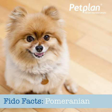 Fido Facts: The Pomeranian | Petplan Blog | Pet Insurance | Scoop.it