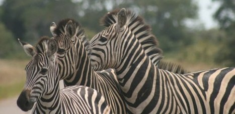 A gap year to make your mark with the Masai Mara.   Worldwide Experience   AnimalConservation   Scoop.it
