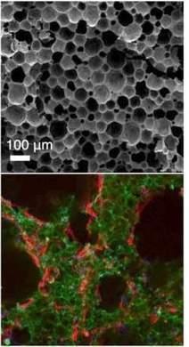 Cientistas criam berço para células-tronco | Células Tronco | Scoop.it