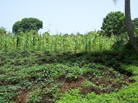 Haïti: les agriculteurs militent en faveur de la souveraineté alimentaire | Questions de développement ... | Scoop.it