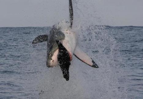 Great White Shark   Great White Sharks   Scoop.it