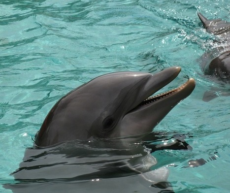 Do Dolphins Use Whistles to Call Themselves by Unique Names?   General linguistics   Scoop.it