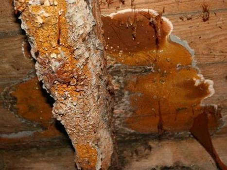 Quand la mérule attaque un bâtiment rénové Sinistre à la loupe | Protection du bois | Scoop.it