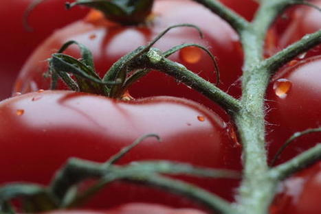 Crean un plástico biodegradable a partir de la piel del tomate | Marine Litter | Scoop.it