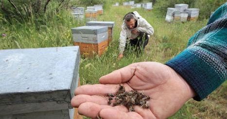 Les abeilles des Pyrénées-Orientales décimées par les pesticides - Le Monde | Abeilles, intoxications et informations | Scoop.it