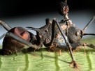"""""""Zombie Ant"""" Fungus Under Attack—By Another Fungus   Parasites   Scoop.it"""