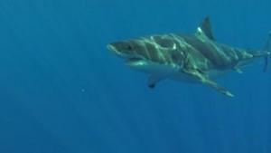 Thalassa - Requin : ami ou ennemi ? - 16-05-2014 | Requins | Scoop.it