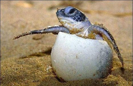 Desove de las tortugas   Ecoturismo   Scoop.it