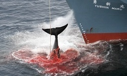 #Japan defies UN to send 'research' #whaling mission to #Antarctic #boycottJapan | Messenger for mother Earth | Scoop.it