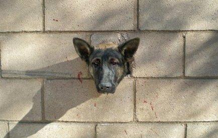 Un chien trop curieux retrouvé la tête bloquée dans un mur en Californie | Mais n'importe quoi ! | Scoop.it