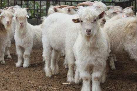 Shawl thing: Cashmere could soon come from gene-edited goats | Agrarforschung | Scoop.it