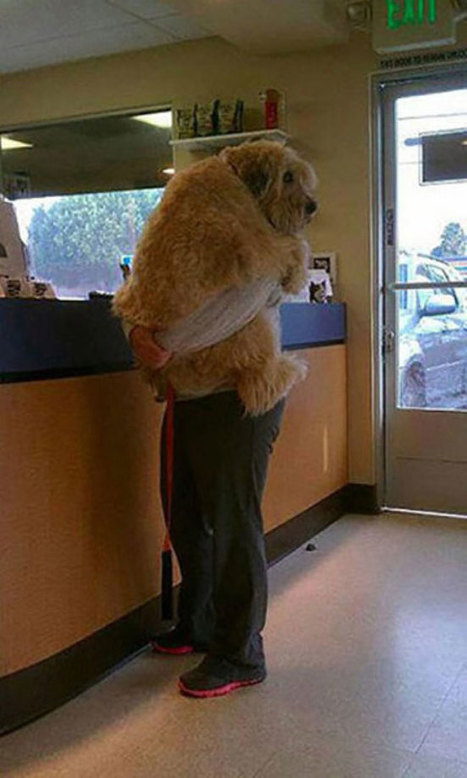 23 Gigantic Dogs Who Think They're Still Lap Dogs | Natural Fears | Scoop.it
