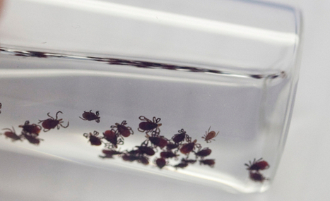 New Tick-borne Disease Found | Lyme Disease | Scoop.it