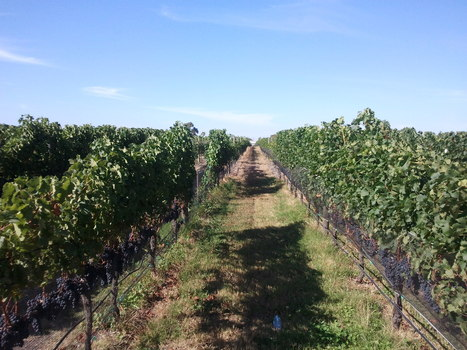 Season Two Results: The story of vintage 2013 | The Organic Focus Vineyard Project | Grande Passione | Scoop.it