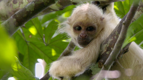 Watch Incredibly Rare White Monkeys Ghost Through a Forest | Nature enviroment and life. | Scoop.it