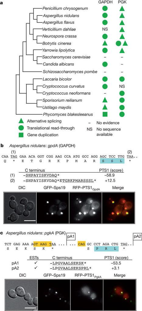 Cryptic peroxisomal targeting via alternative splicing and stop codon read-through in fungi   Plant Genomics   Scoop.it