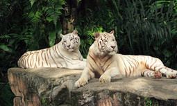 Prized for Profit: Rare White Lions and Tigers Exposed to Selective Inbreeding in Zoos | EcoWatch | Scoop.it