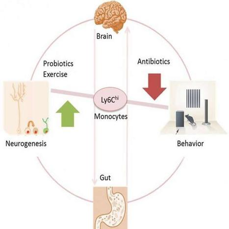 A Link Between Gut Bacteria and Neurogenesis: Mouse Study | Dyslexia, Dyspraxia, ADD, ADHD, LD, Autism (etc. conspiracy labels out there)  Education Tools & Info | Scoop.it