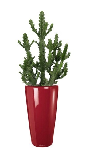 L'Euphorbia Ingens | La Location de plantes | Scoop.it