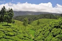 Pesticides dans le thé chinois - Ressources et environnement | Nourrir la planète... autrement | Scoop.it