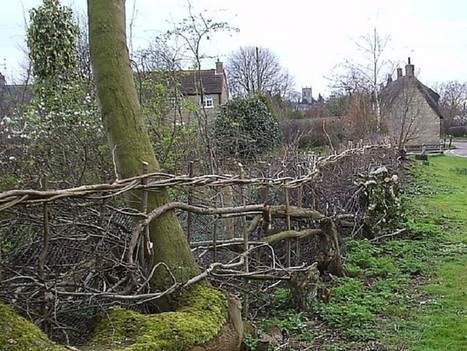 Hedge Laying | Local Economy in Action | Scoop.it