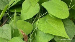 Tanaman Cincau (Mesona spp) | Aneka Resep | Cara Diet Sehat | Tanaman Obat | Scoop.it