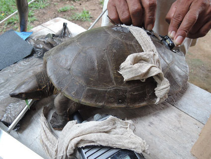 Rare turtle spotted in the Rio Grande | Sustain Our Earth | Scoop.it