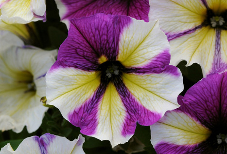 Fresh new flower varieties sprouting up - Milwaukee Journal Sentinel - Milwaukee Journal Sentinel | Container-a-Gogo | Scoop.it