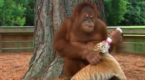 Les orangs-outans pourraient avoir complètement disparu dans 10 ans | Chronique d'un pays où il ne se passe rien... ou presque ! | Scoop.it