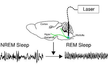 Researchers Find Neural Switch that Turns Dreams On and Off | Biomedical Beat | Scoop.it