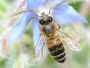 Abeilles domestiques, pollinisation et biodiversité végétale | Florapis | EntomoScience | Scoop.it