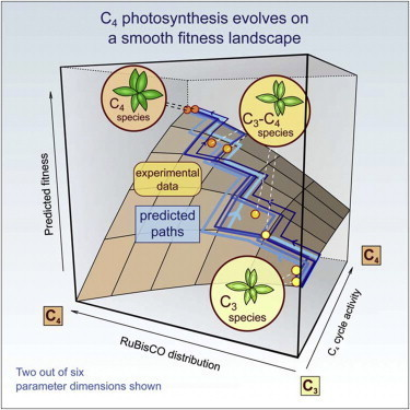 Cell - Predicting C4 Photosynthesis Evolution: Modular, Individually Adaptive Steps on a Mount Fuji Fitness Landscape | Sheng Yang's Papers of Interest | Scoop.it