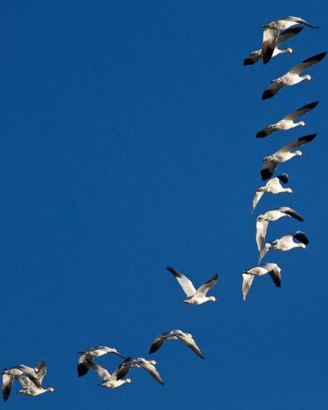 El vuelo de los gansos | Te cedo la palabra | Scoop.it